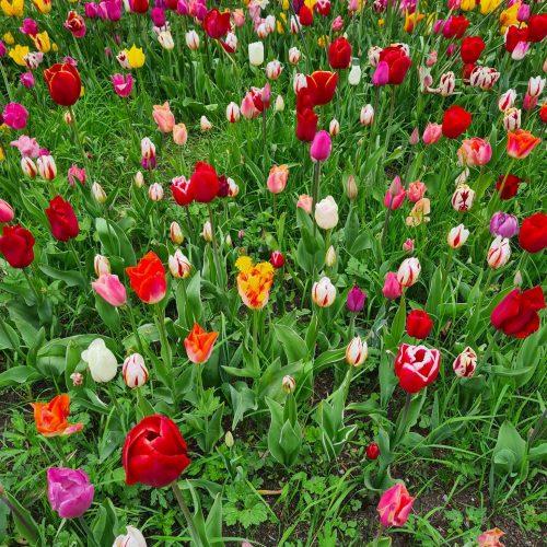 Floralia Groot-Bijgaarden Field Of Tulips