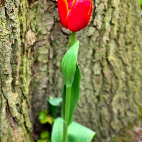 Floralia Groot-Bijgaarden Single Tulip
